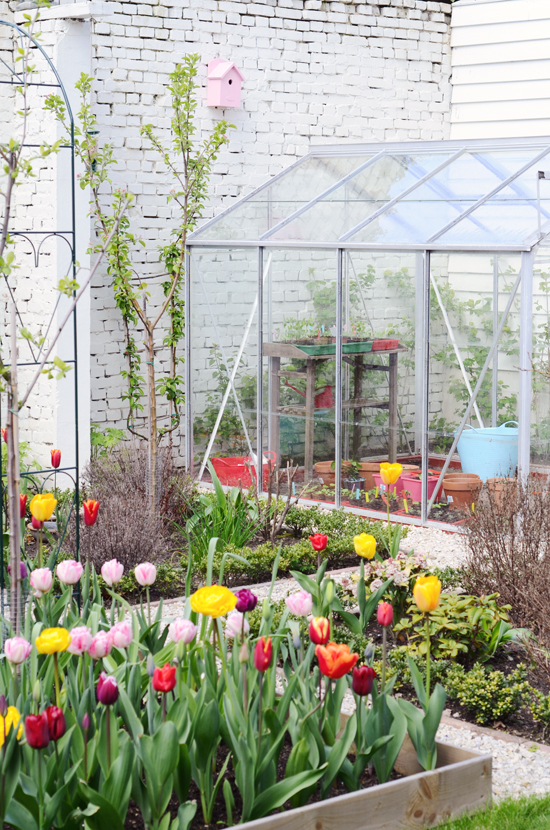 gar-tulips01
